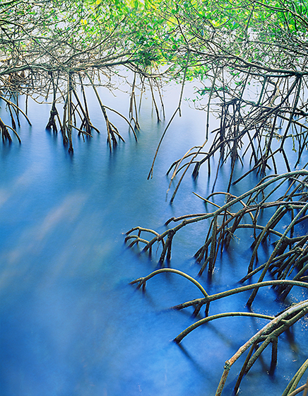 Blue Tide Mangrove Prop Roots Florida Nature Photography